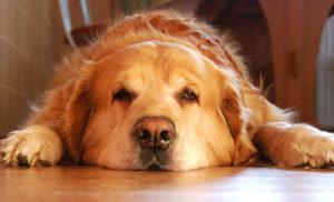 Giải đáp thắc mắc bệnh care ở chó có lây sang người không