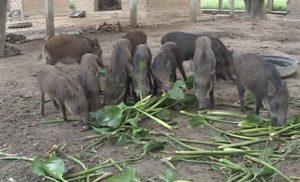 Đi tìm lời giải hóc búa: Nuôi lợn rừng có lãi không?