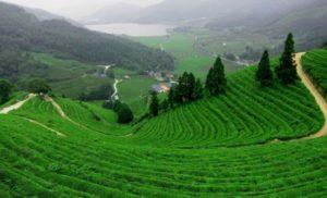 Diện tích trồng chè lớn nhất việt nam