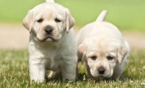 Có nên nuôi chó Labrador không?
