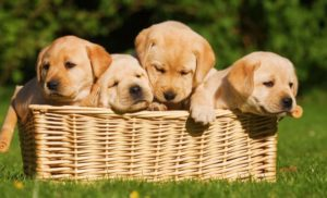 Cách chọn chó Labrador thuần chủng