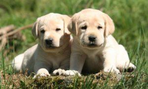 Cách huấn luyện chó Labrador