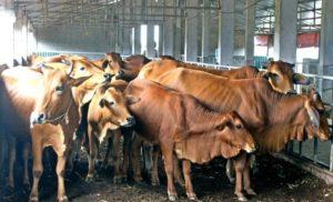 Thoát khỏi mùi hôi nhờ mô hình nuôi bò bằng đệm lót sinh học