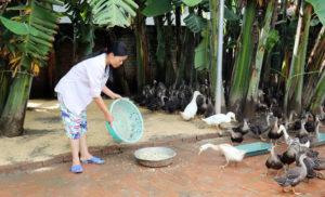 Thức ăn nuôi vịt xiêm nhanh lớn, tiết kiệm chi phí