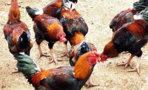 Điểm danh những giống gà thịt ngon nhất ở Việt Nam